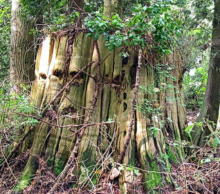 stanley park stump