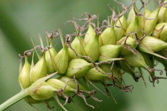 800px-Carex_riparia_(Ufer-Segge)_IMG_22812