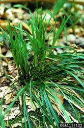 hay sedge plant