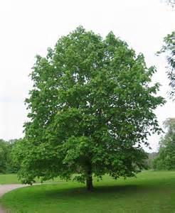 hcestnut tree