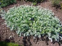 silverweed potentilla anserina