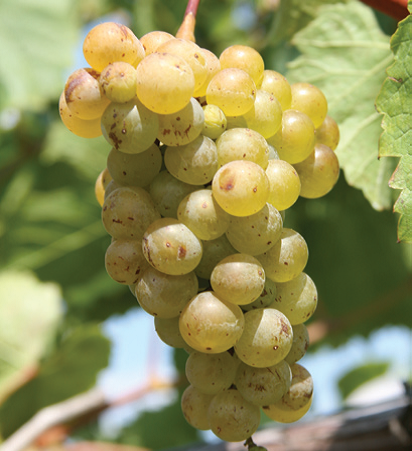Vignoles grape
